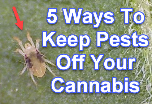 5 WAYS TO KEEP BUGS OFF YOUR CANNABIS PLANTS